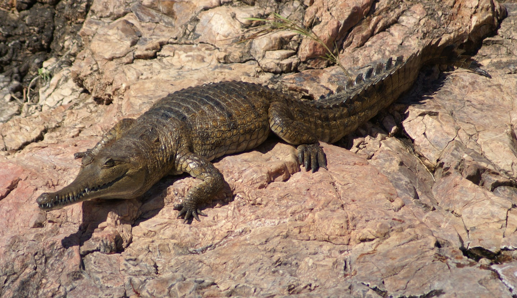 Lake Argyle Cruises - crocodile